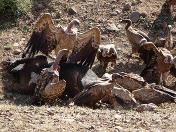 Äthiopien, Geier