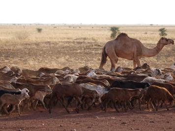 Hirte, Sudan